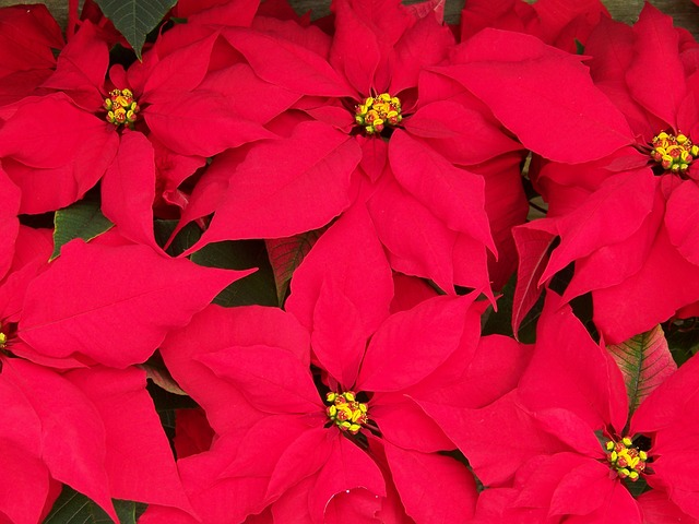 poinsettias-18199_640